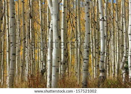 Tranquil aspen glade in the Utah mountains, USA. - stock photo