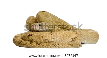 Trans-Pecos rat snake, Bogertophis subocularis, curled up in front of white background - stock photo