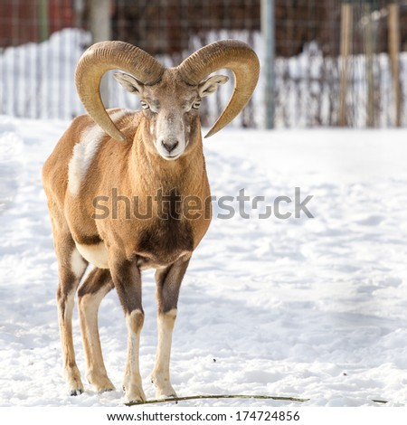 Transcaucasian or Armenian urial male standing and looking straight forward - stock photo