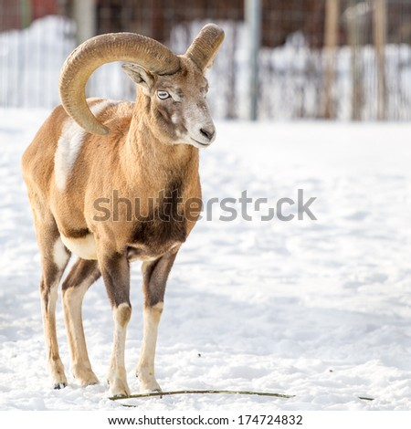 Transcaucasian or Armenian urial male standing with during winter - stock photo