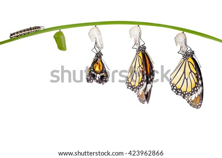 Transformation of common tiger butterfly emerging from cocoon isolated on white with clipping path - stock photo
