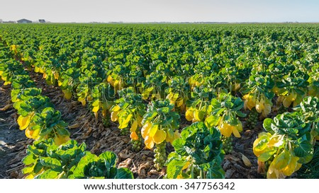 Translucent fresh green, yellowed and withered brown leaves of Brussels sprouts plants with full-grown sprouts at the field of a Dutch farmer. - stock photo