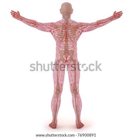 translucent human body with visible bones. isolated on white. - stock photo