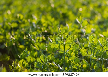 Translucent leaves of turnip-rooted celery or Apium graveolens var. rapaceum plants ion low afternoon sunlight at the field of a specialized organic vegetable farm. - stock photo