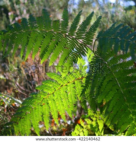Translucent lush green fern leaves illuminated with sun - stock photo