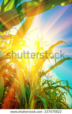 Translucent sun through plants of corn instagram stile - stock photo