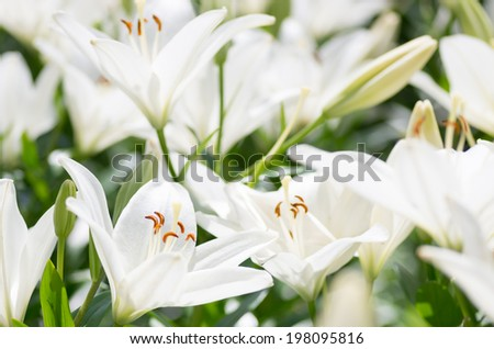 transparent white lily