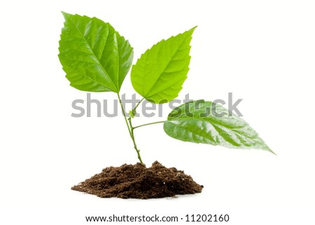 Transplant of a tree isolated on a white background. Clipping path included.