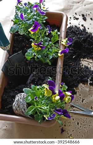 transplantation of young plants - stock photo