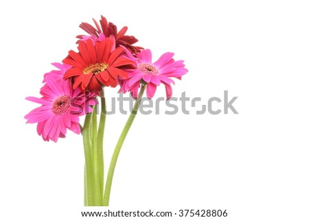 Transvaal daisy in a white background