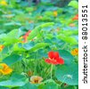 Trapaeolum majus or garden nasturtium, shallow depth of field - stock photo