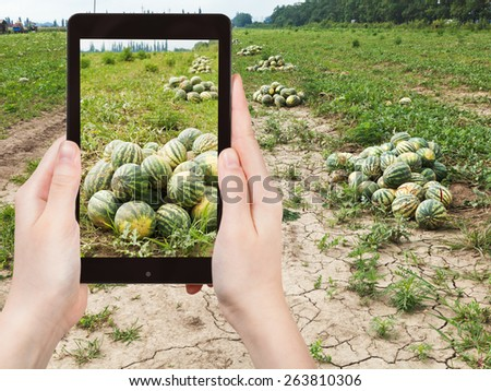 travel concept - tourist takes picture of harvesting of ripe watermelons on melon field in summer on smartphone, - stock photo