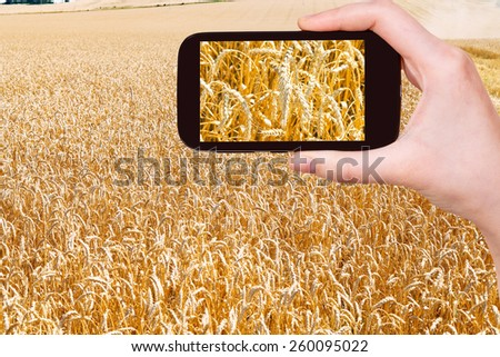 travel concept - tourist taking photo of ears of ripe wheat field on mobile gadget on Kuban - stock photo