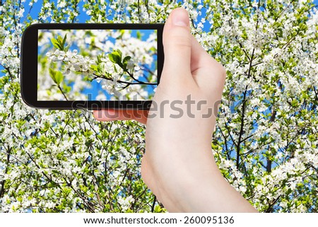 travel concept - tourist taking photo of twig of cherry blossoms and white cherry flowers on mobile gadget in spring - stock photo