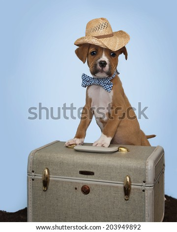 Traveling Boxer Puppy with Suitcase
