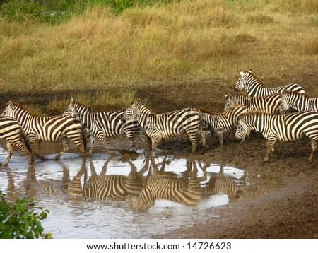 Traveling Zebras - stock photo