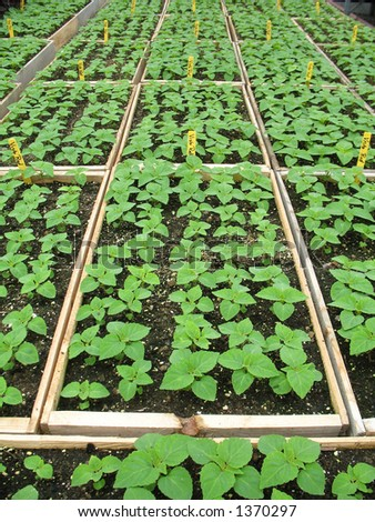 Trays of seedlings in a greenhouse - stock photo
