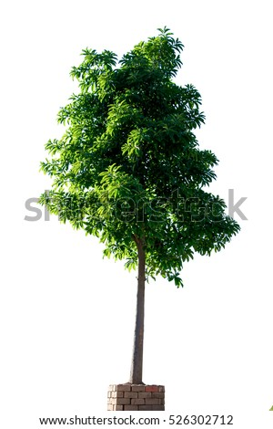 Tree alone or single on isolate white background