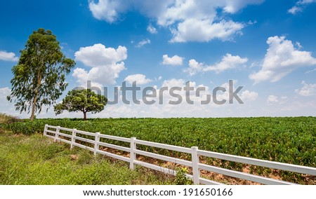 Tree and cassava field on blue sky background