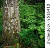 Tree and Vine Maple - stock photo