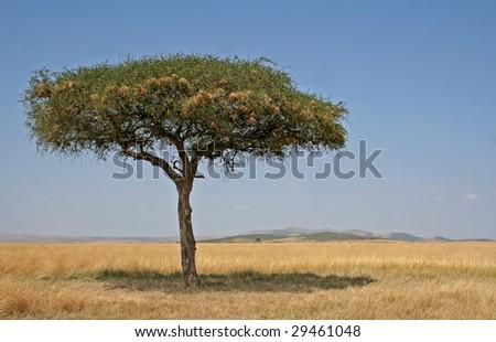 Tree at Masai Mara, Kenya - stock photo