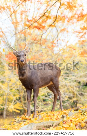 Tree autumn - Deer live freely in Nara, Japan.