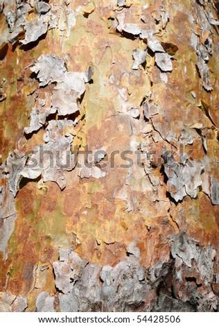 Tree bark peeling. - stock photo