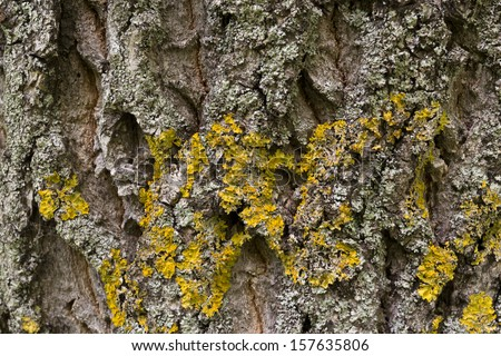 Tree bark with yellow lichen - stock photo