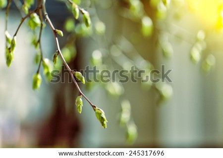 tree branch with buds background, spring  - stock photo