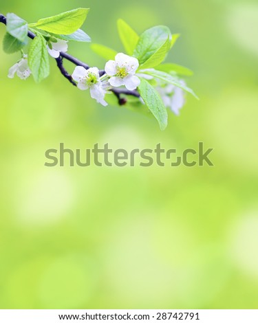 Tree branch with cherry flowers over natural green background - stock photo