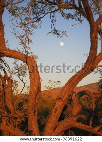 Tree branches lit by the golden glow of sunset frame the moon shining on a desert landscape. - stock photo