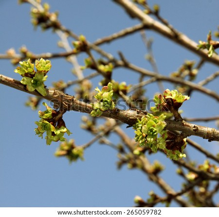 Tree brunch with buds - stock photo