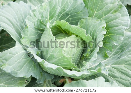 Tree cabbage Planted cabbage In agricultural areas. A cabbage that is ready to harvest. - stock photo