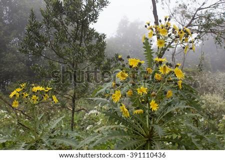 Tree dandelions. Deep forest in Garajonay National Park, La Gomera, Canary Islands, Spain  - stock photo
