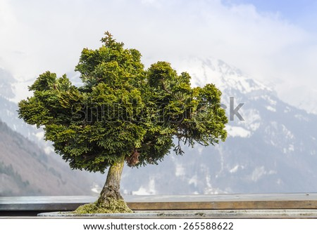 Tree. Dwarf green tree on a background of the Alps.