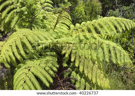 Tree Ferns - New Zealand - stock photo