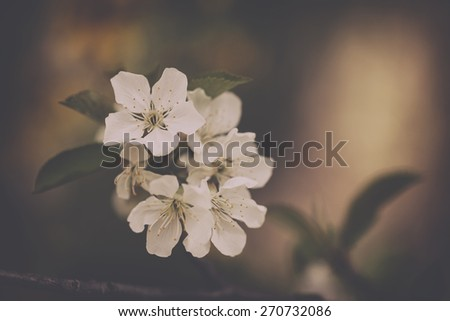 Tree flower blossoms. Analog effected photo. - stock photo