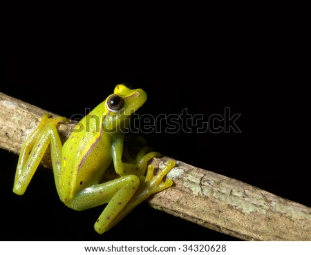 tree frog at night on a branch in the brazil rainforest Hypsiboas cinerescens green frog tropical amazon rain forest nice bright vivid color beautiful nocturnal animal black background with copy space - stock photo