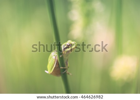 Tree frog - common rush - macro shot