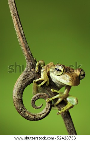 tree frog dendropsophus faciata amphibians are nocturnal endangered animals need nature conservation background copy space tropical frog amazon frog Bolivia rain forest exotic frog - stock photo