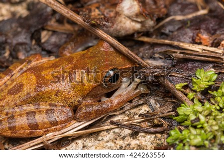 Tree frog, Frog on ground, Tree frog of Borneo