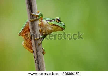 Tree frog (hyla arborea) - stock photo