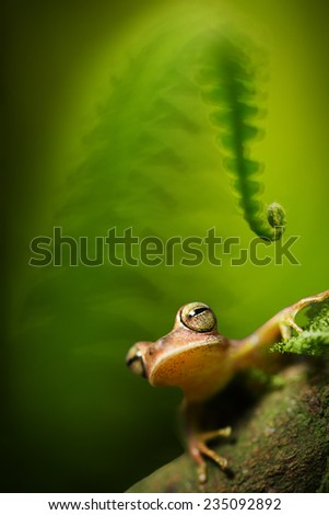 Tree frog Hypsiboas faciatus under a fern in the tropical amazon rain forest, This small amphibian with big eyes lives in the jungles of Peru, Bolivia Brazil and Ecuador; - stock photo