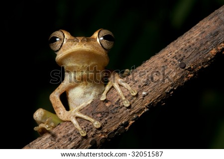 Tree frog in Brazil amazon rainforest night animal jungle frog of tropical rain forest macro on black background with copy space beautiful big eyes sitting on diagonal branch nocturnal amphibian - stock photo