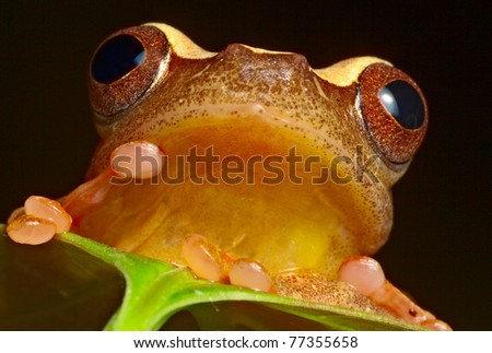 tree frog in Brazil tropical amazon rain forest beautiful night animal and endangered amphibian frog red eyed treefrog hiding behind green leaf hypsiboas triangularum macro - stock photo