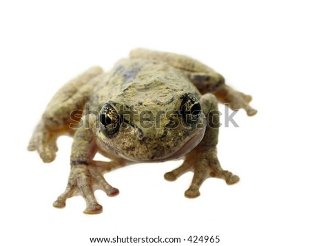 Tree frog isolated on white background with shallow depth of field - stock photo