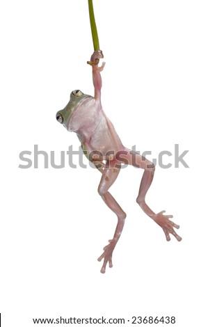 Tree Frog Litoria caerulea dangle on Branch - stock photo
