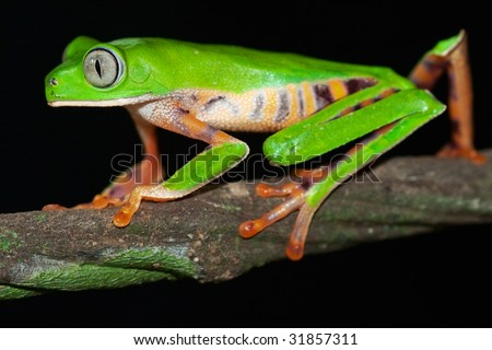 tree frog night animal amazon rain forest beautiful green amphibian with big nocturnal eyes tropical and exotic jungle species crawling on branch Monkey frog Phyllomedusa tomopterna Bolivia