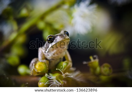 Tree frog on eucalyptus tree. Brown Tree Frog, Litoria ewingi. A common and widespread species in Tasmania, Australia, the Brown Tree Frog is an agile climber. - stock photo