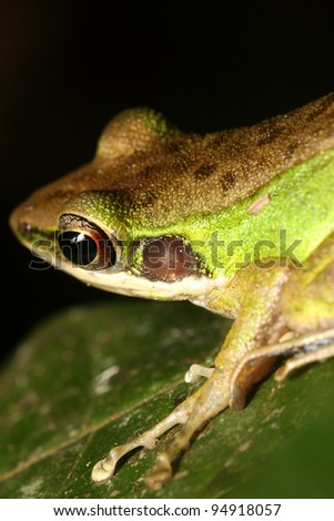 Tree frog on leaves - stock photo